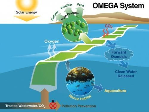 NASA shows off new algae farming technique for making biofuel Offshore Membrane Enclosures for Growing Algae (OMEGA) is an innovative method to grow algae, clean wastewater, capture carbon dioxide and ultimately produce biofuel. Using treated sewage as a growth medium, OMEGA would not compete with agriculture for water, fertilizer or land. NASA's OMEGA system consists of large flexible plastic tubes, called photobioreactors. Floating in seawater, the photobioreactors contain freshwater algae growing in wastewater. These algae are among the fastest growing plants on Earth. (Phys.org) — NASA is clearly looking far into the future for a way to handle both human waste and a need for fuel on either long space flights or when attempting to colonize another planet. To that end, they've assigned life support engineer Jonathan Trent the task of coming up with a way to use algae to solve both problems at once. His solution is to use plastic bags floating in seawater as small bioreactors, containing wastewater, sunlight and carbon dioxide to grow algae that can be used as a means to create biofuel.  Click here for more.