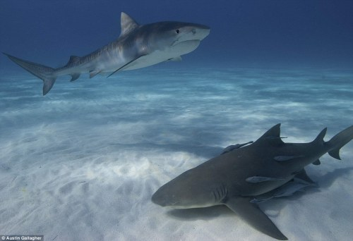 Third place: These sharks identified as a juvenile tiger shark and lemon shark in the Bahamas won Austin Gallagher third place in the student category Read more: http://www.dailymail.co.uk/news/article-2132440/Incredible-images-underwater-photography-captures-dazzling-colour-life-beneath-sea.html#ixzz1smjw3bXC