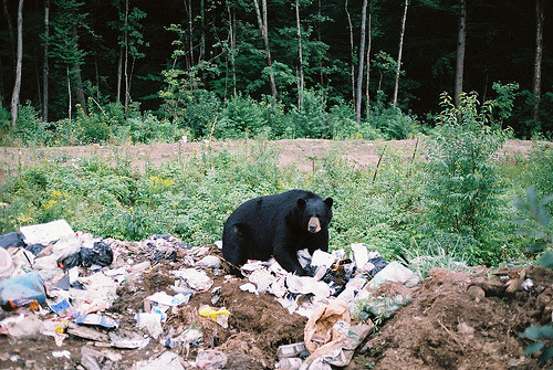 namasteh:  Bears…in their natural habitat…eating your garbage. (by ChadSiddall)