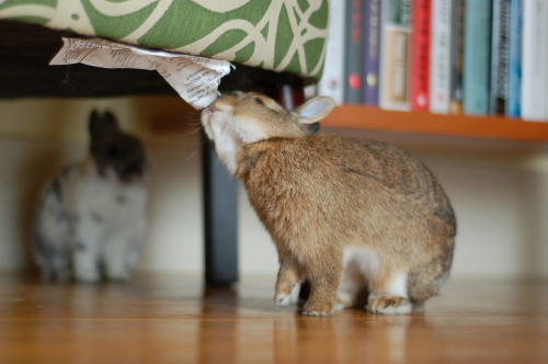 dailybunny:  Bunny Is Champion of Finding Things to Nom Happy Bunday! Thanks, Meredith!