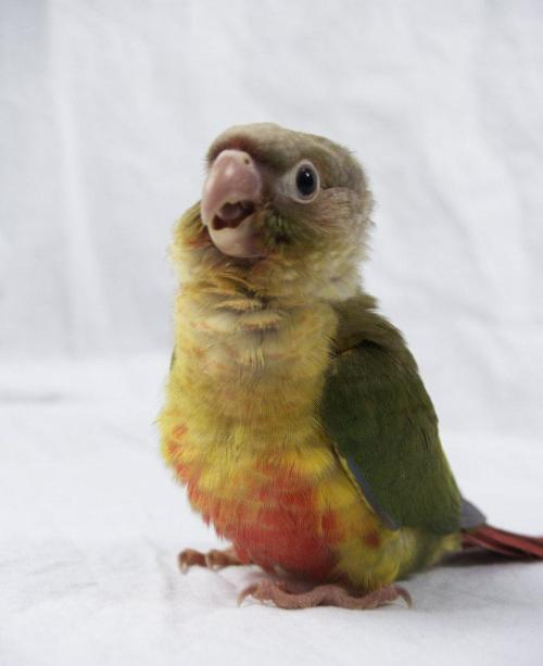 red-guardian:  Juvenile pineapple green cheek conure, Pyrrhura molinae.
