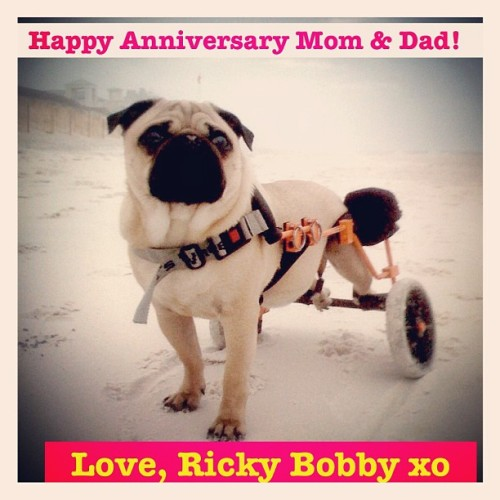 Ricky Bobby wishes his parents the happiest of anniversaries! Please follow @thebrinceofatl !  Ricky Bobby has his own website check it out!  rickybobbypug.com #pugsofinstagram #pugs #pug  (Taken with instagram)