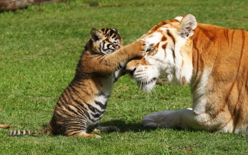 magicalnaturetour:  A Bengal tiger cub meets Sita, an adult female Bengal tiger at Dreamworld, Queensland, Australia. Arrow and Anchor, two six-week-old cubs, were allowed on to Tiger Island for the first time this week. Picture: Newspix / Rex Features via The Telegraph :)