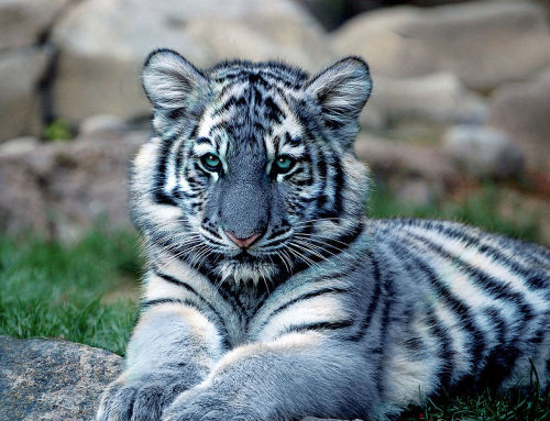 Maltese (Blue) Tiger