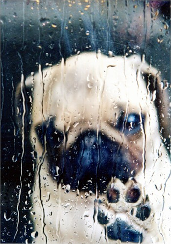 emotipugs:  The feeling you get when it's raining out and you don't actually mind because there's a pizza in your freezer and any excuse not to get out of your pajamas is a good one.