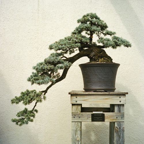 leaning bonsai // us national arboretum - washington dc // rolleiflex 2.8e the shape of this bonsai was really interesting… first is that it's seems to be a pine tree of sorts. and i assume they trained it to this shape by slowly raising the tree from the light source having it reach down to the light. this was has been in training for 60+ years.