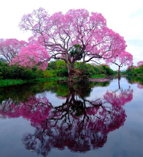 magicalnaturetour:   A piúva tree in bloom, Brazil via Imgur:)