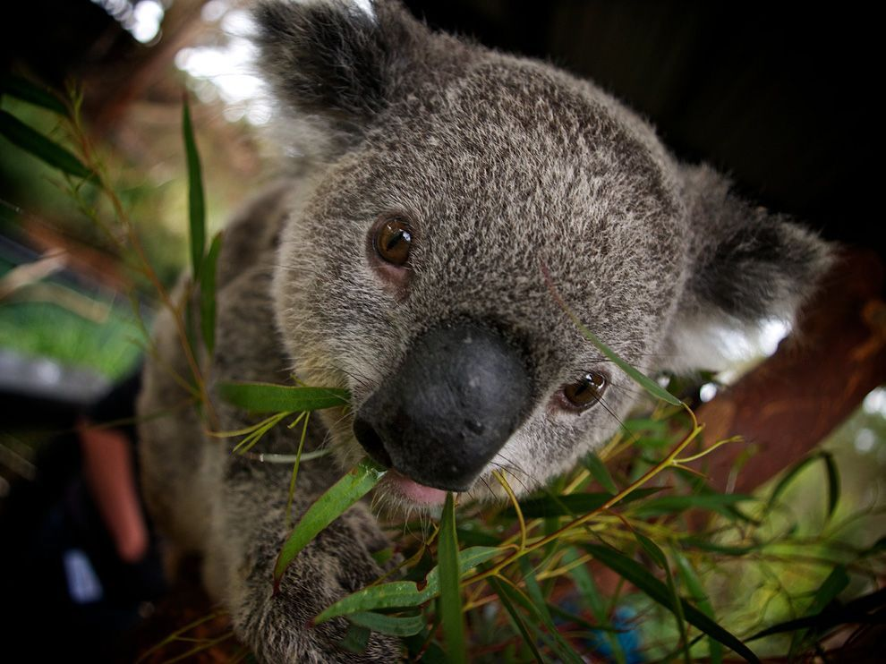 theanimalblog:  Koala, Australia by Gary Brown