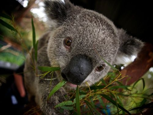 Koala, Australia by Gary Brown
