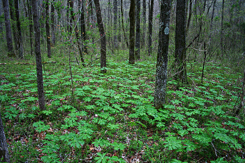 outdoorsanctuaries:  Mini Glade (by wardrodgers)  MAYAPPLES!!!!!  MAYAPPLES EVERYWHERE!