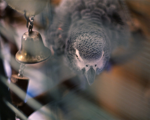 my African Grey - such a schweety….