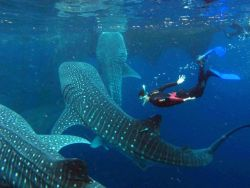 robotalbatross:  This has been my dream for years. The whale shark is tied with the albatross as my favorite animal.  Definitely one of mine as well.