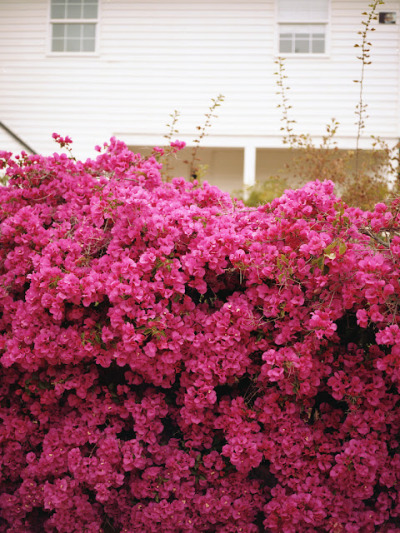 (via absolutely beautiful things: Pink Garden Wall)