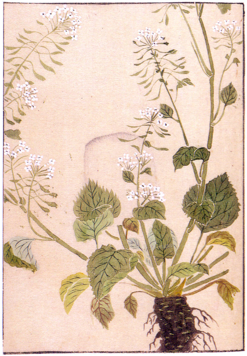 1828 illustration of the wasabi plant (Wasabia japonica) by Iwasaki Kanen
