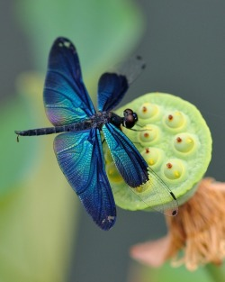 Iridescent cobalt dragonfly on a celadon lotus seed pod