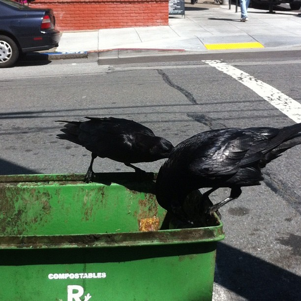 Big ass crows get the pick of the rubbish here! (Taken with instagram)