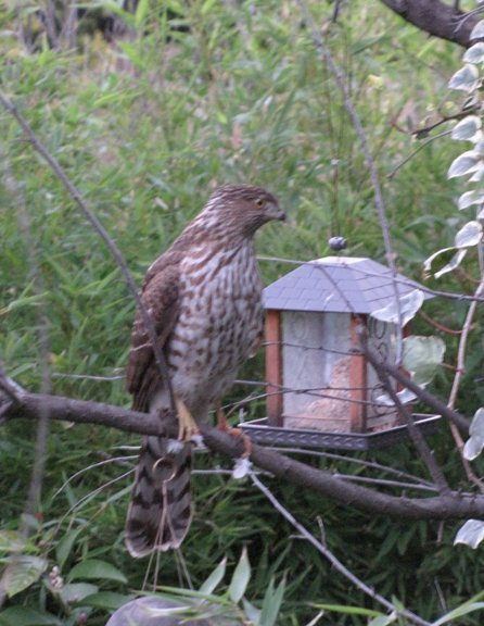 Can someone tell this hawk I only serve seeds in the bird feeder? Photo by Douglas Alvarez
