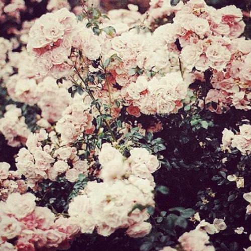 I need more positivity in my life. #flowers #nature #roses #beauty #pretty (Taken with instagram)