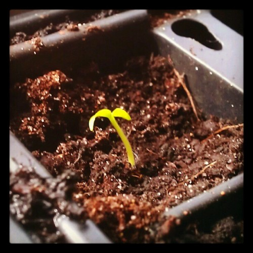 telstar-radio:  NuMex Twilight chillies have sprouted :) (Taken with instagram)