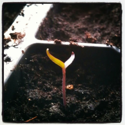 telstar-radio:  The Explosive Ember chillies have sprouted too! (Taken with instagram)