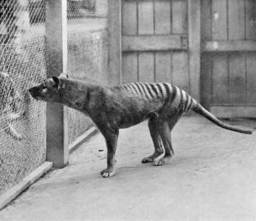 The last thylacine died in the Hobart Zoo.Locked in a cage, she stared out through the lattice of wire to the distant warmth of the keeper's house.Alone all the long nights, she paced, fretful, the unfamiliar sound of her nails clicking on cement.She was surrounded by the stink of bears, the roar of lions, the shit-hurling culture of the monkeys, the press and flow of humans.The last thylacine was imprisoned between concrete floor and iron bars without even a kennel's shelter.There was thunder the night she died, and rain.A springtime cold snap that followed days of merciless heat. Above the thylacine's cage was a deciduous tree, still bare of leaves. She called through the night, her high-pitched yip yip yip torn away by the wind.You've heard that hypothermia causes the victim to feel paradoxically warm and you wonder if that's what the thylacine felt as she died.You hope so.You hope she had a dying dream of forest and treefern, of other thylacines. Because the last thylacine's final vision was strobe-lit by lightning: black and white.Vertical bars.Alone.From Extinct Doesn't Mean Forever by Phoenix Sullivan You may also be interested in Tasmanian Tiger: The Tragic Tale of How the World Lost Its Most Mysterious Predator To discover more cryptids and mysterious creatures, or see more Thlyacine posts please follow us at cryptidchronicles.tumblr.com or on twitter @cryptidfansThis is our 150th Post.