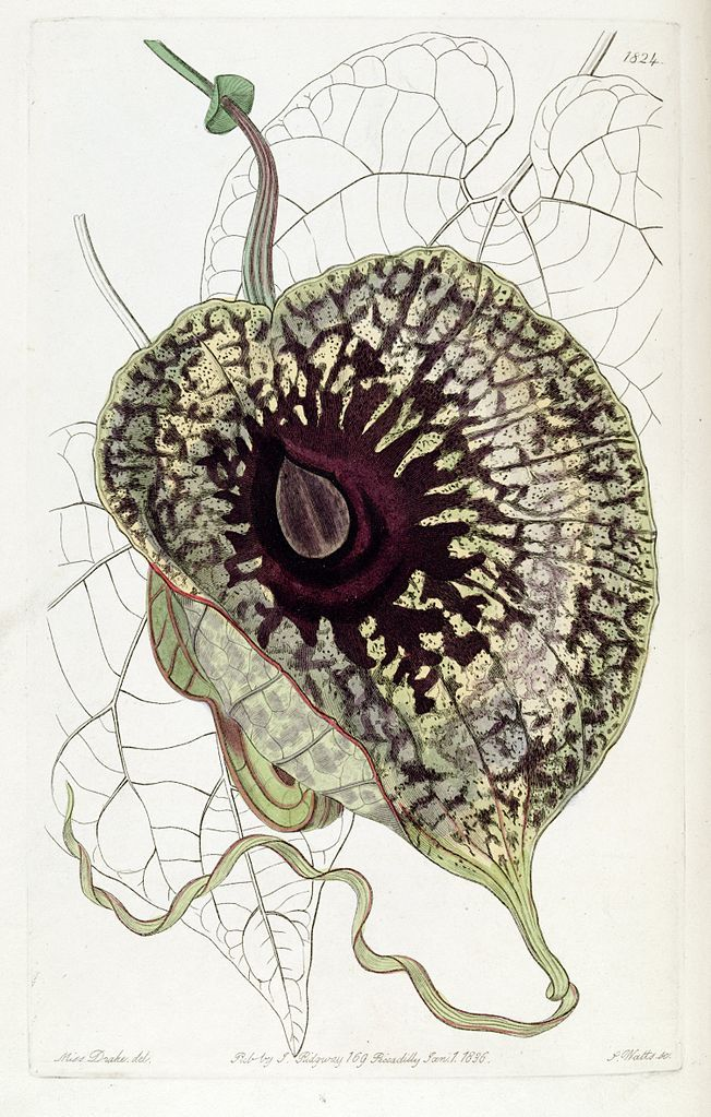 dreamssoreal:  Aristolochia grandiflora from Edwards's Botanical Register, 1836