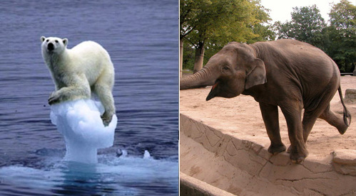 Who has the cuter balancing act? Polar Bear OR Elephant?  Polar Bear Image (johnbullas) Elephant Image (paraflyer)