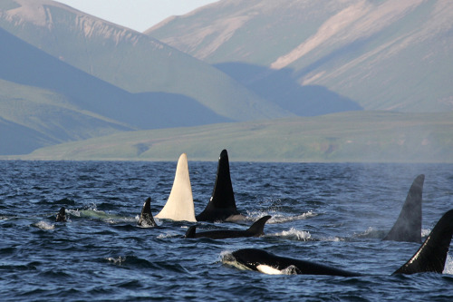 "ixhaku:  chairles:  smithsonianmag:    Rare White Killer Whale Photographed UPDATE: The original photo has been replaced with a more recent photo of a white orca.  Originally observed in August 2010 near the Commander Islands in the North Pacific, researchers decided to wait until the animal had been studied further before releasing photographs.  Photo: E. Lazareva / Newscom Ed note: Almost as rare as a white killer whale is the mysterious narwhal. Our article on the ""unicorn of the sea.""  the orca tag is going crazy over this hahahha it's awesome  I saw that on reddit and was going to show you but I figured you already saw it  OH MY GODDD I LOVE ORCAS!"