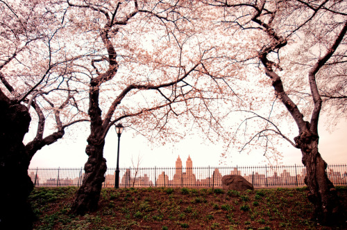 "nythroughthelens:  Spring cherry blossoms overlooking the Jacqueline Kennedy Onassis Reservoir. Central Park, New York City.  On Spring mornings, the world hangs in sleepy stasis.  Trees, adorned with blossoms as soft as winter's first snow, use their branches to gracefully conduct the world's awakening in a daily symphony at dawn.  —-  I am admittedly a night person. I have tried for years to trick my stubborn body into accepting a different biological time-clock to no avail.   However, on days when I am carefully trying to get myself to accept the mornings as a friend and not a foe, I am always amazed at how differently the world appears especially during certain times of the year like springtime.   On a perfectly cloudy Spring day in Central Park, it's as if the world is opens up its dewy eyes one by one as the city stretches out languidly for a few hours.  —-  View this photo larger and on black on my Google Plus page   —-  Buy ""Spring Blossoms Overlooking the Central Park Reservoir - New York City"" Prints here, email me, or ask for help."