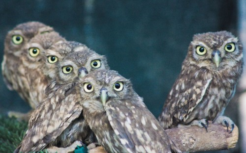 theanimalblog:  A group of little owls at the Wildlife Rehabilitation Centre in Modena, Italy.  Picture: Maurizio Malagoli/Solent News  crtl+c ctrl+v+v+v+v+v