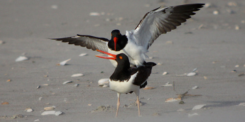 American Oystercatchers (Haematopus palliatus) doing it…  Check out Bird Love Week at 10,000 Birds for raunchy bird-on-bird action all night long!