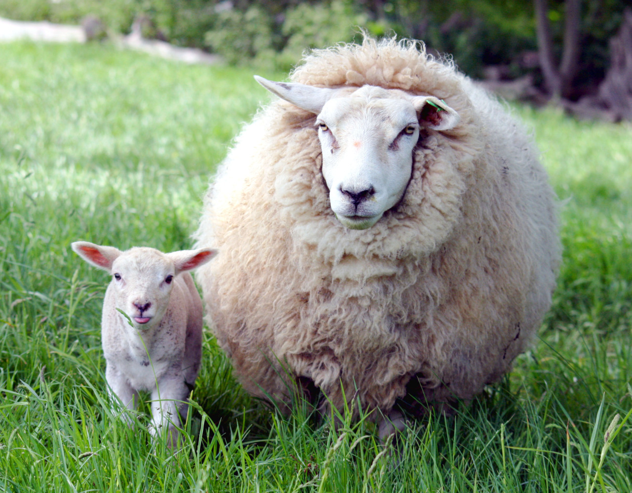 look a mama ewe and a baby lamb with its tongue sticking out :p