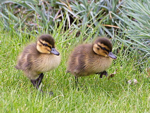thefluffingtonpost:  Ducklings Set to Explore the Backyard Brave ducklings Vasco and Ferdinand are set to embark on a 3-month journey to the farthest reaches of the backyard.  Their voyage, which is backed by a writ of passage from the Queen of Spain, will leave from the patio, make its way along the side fence to the bird bath and then follow the slate path to the pergola.   Their goal is to find a quicker land route to the vegetable garden. Via Ian-S.