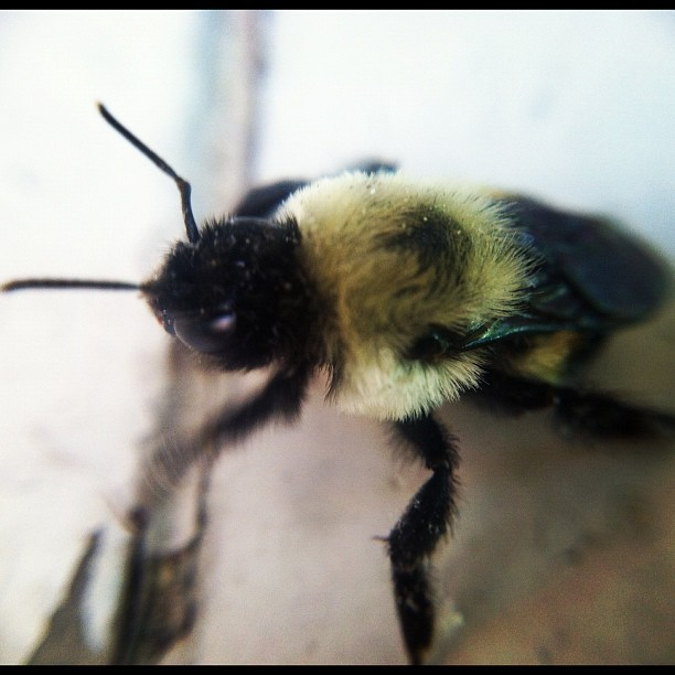 #bumble #bee #macro #lens #iphone4 #iphonography #covington #igersoftheday #igers #instaglam #photooftheday #pictureoftheday  (Taken with instagram)