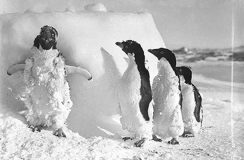 theanimalblog:  Ice cased Adelie penguins after a blizzard at Cape Denison / photograph by Frank Hurley  「おまえねぐせすごいな」