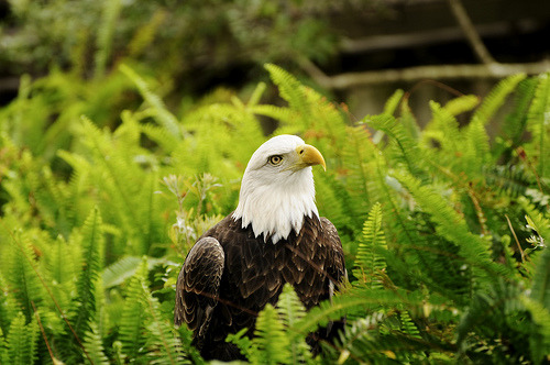 theanimalblog:  Southern Bald Eagle