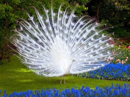 "earth-song:  White Peacock"" by suresh dangi  'tis Shen!"
