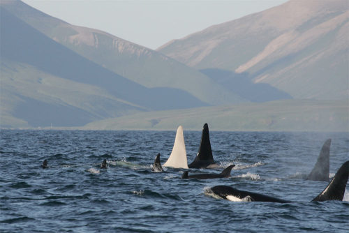 "jtotheizzoe:  One of a Kind: All-White Killer Whale Spotted This orca, nicknamed ""Iceberg"", is part of a pod that is native to the North Pacific off the coast of Russia. Scientists don't know if it's a true albino, as the only other known white orca suffered from a deadly disease that made it lack pigment. This one seems healthy, and totally unique. It was a one-time sighting, and they hope to find this social pod again on their next outing to find out more about this beautiful whale. Those other orcas better not make fun of him for being so pale. Just goes to show you the amazing discoveries that still await us in our oceans. (via LiveScience)"