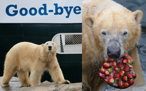 A polar bear named Arktos holds a strawberry ice cake in his mouth at the zoo in Hanover, Germany. He is leaving the zoo to go to the Scottish Highland Wildlife Park where he will take part in the European Endangered Species Programme. | Telegraph.