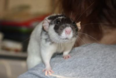 effyeahrats:  Up for adoption at Mainely Rat Rescue   This looks a bit like my Russel. Sweet little dumbo. Someone should go adopt this cutie!