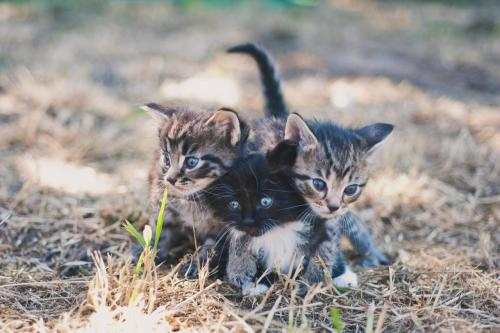 thefluffingtonpost:  Rare 3-Headed Kitten Spotted in the Wild The scientific community is hotly debating recent photos of a three-headed kitten taken early Wednesday morning. The species is exceedingly rare, which has led some biologists to conclude the photos are fake, or merely of three individual kittens walking in close quarters. If the photos are legitimate, this will be the sixth three-headed feline ever observed in the wild. Via alltherage.