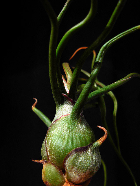 Tillandsia bulbosa  by Mat.Tauriello on Flickr.