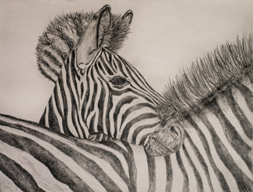 Zebra Drawing. Medium: Sketch Pencils
