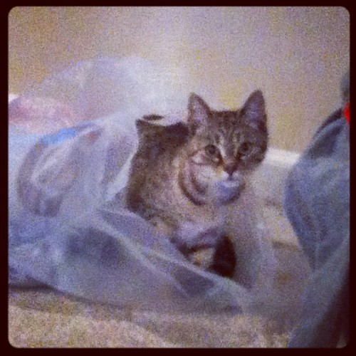 murphhhhh:  My cats half in the bag…get it hahahahaha #cute #cat #nala #funny (Taken with instagram)