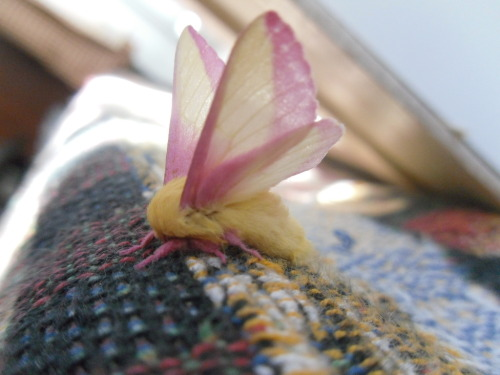 took this photo of a Rosy Maple Moth that got into my house the other day~ cute lil thing ;w;  (submitted by rogue-trollcop)