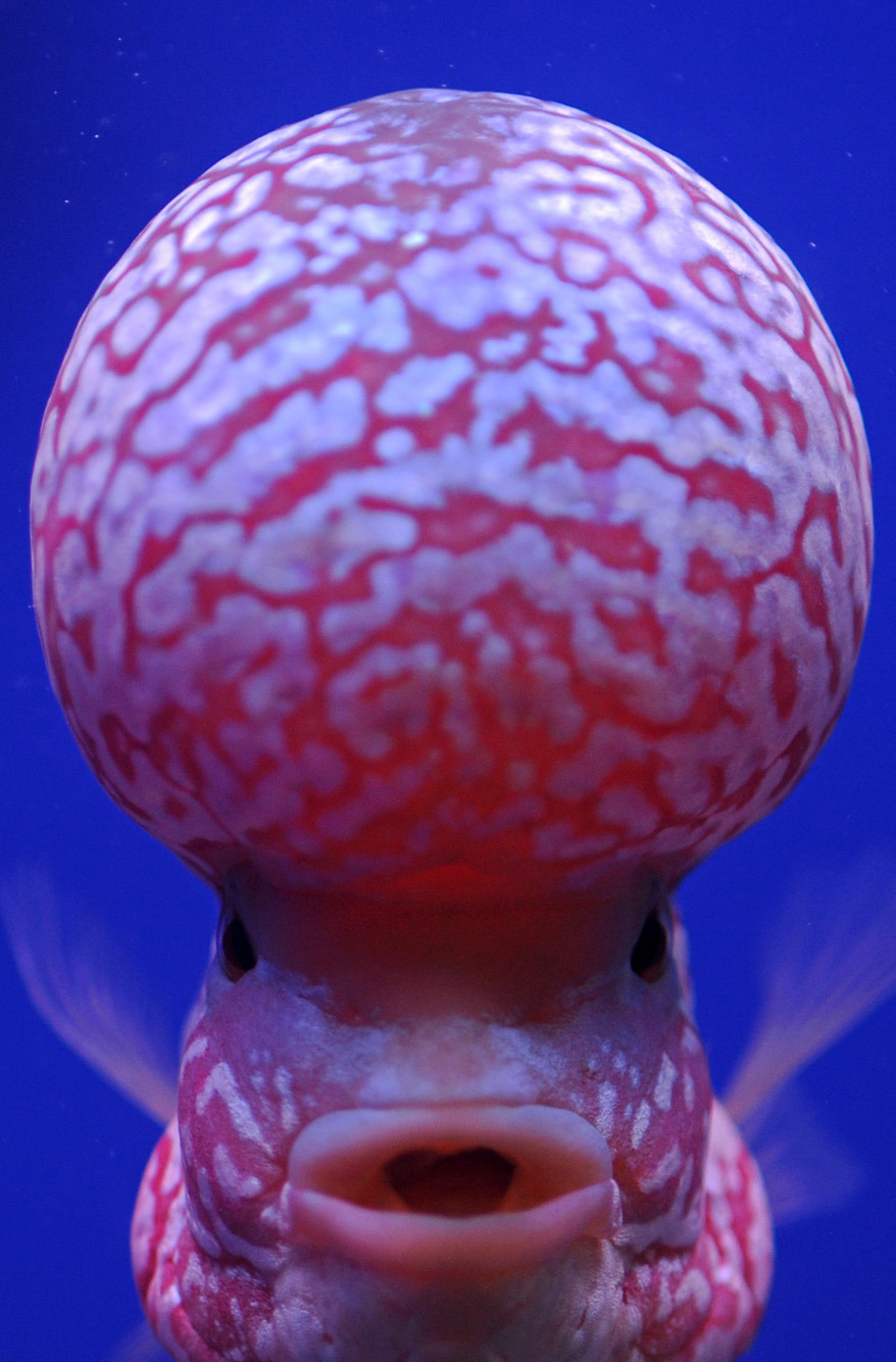 BRAIN FISH aka flowerhorn (by AFP via March « 2012 « FOTO E DITËS)