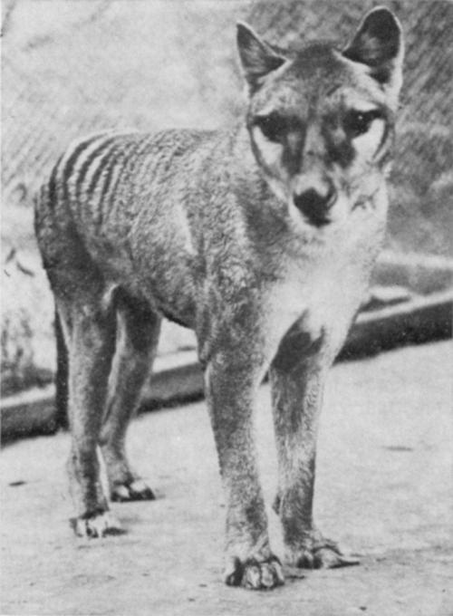 "Tasmanian tiger was no sheep killer Australia's iconic thylacine, or Tasmanian tiger, was hunted to death in the early Twentieth century for allegedly killing sheep; however, a new study published in the Zoological Society of London's Journal of Zoology has found that the tiger had such weak jaws that its prey was probably no larger than a possum.This past September marked the 75th anniversary of the death of the last known tiger, or thylacine (Thylacinus cynocephalus), at a Hobart zoo. When it was alive it had a bad reputation as a sheep killer. From 1830 till 1909 there was a bounty on the species because it was considered a pest. PhD candidate Marie Attard, from the University of New South Wales, says people thought each thylacine could be eating up to 100 sheep each year. While it has been more recently acknowledged that that was an exaggeration, she says thylacines may not have even been capable of killing and eating sheep. ""We actually found that thylacines have really weak jaws,"" says Attard. ""Even though it had quite a large body and a large head it actually wasn't really very good at eating big animals. ""If you think about a sheep, it weighs about 90 kilos and thylacines were about 30 kilograms and their jaws were just too weak to be able to take on something that big."" Instead, Attard believes thylacines ate small animals such as bandicoots and possums. ""Animals that weigh over 22 kilograms should be taking down animals that weigh about their body size or even a bit more,"" she says. Despite the lack of genetic diversity, a bounty on the Tasmanian tiger is what lead to its extinction (Source: Tasmanian Museum and Art Gallery) ""So the fact that this animal is eating very small animals, probably around five kilos, is quite an interesting find and it would also mean that they have to eat a lot of small animals to be able to survive."" Skull scans The researchers used CAT scans of a thylacine skull to build digital 3-D engineering models. ""What we do is we can digitally crash test that skull to test its mechanical strength,"" says Attard. ""It's actually quite similar to the software that engineers use to look for weak points in materials used to build man-made objects such as bridges and aircraft wings."" The researchers simulated thylacine behaviours including biting, tearing and pulling to see how they responded to struggling prey in their mouths. In the images produced, different colours showed how much stress each part of the skull was under. ""In the end the skull basically, for the thylacine's case, ended up lighting up like a Christmas tree because it had so much stress in it,"" says Attard. Study co-author Dr Stephen Wroe, also from the University of New South Wales, says the findings were surprising. ""I had expected that we would find that the thylacine would have been better adapted to take large prey,"" he says. ""That would have meant there would have been less competition between the thylacine and its close relatives, the Tasmanian devil and the spotted tail quoll."" Caption: ""Bagged Thylacine, 1869""It is believed this competition for food, the bounty and settlers altering the land all contributed to the species' demise.Selina Bryan for ABC Science 2011 Thylacine DNA reveals lacks of diversity The Tasmanian tiger, or thylacine, had very limited genetic diversity before it died out, according to a new study, which suggests a similar fate for the Tasmanian devil. Hunted to the brink of extinction, the last known thylacine (Thylacinus cynocephalus) died in captivity in 1936. But specimens of the dog-like marsupial are preserved in museums around the world. A team of scientists, led by Dr Brandon Menzies from the Liebniz Institute and the University of Melbourne, collected genetic samples from 14 thylacine specimens, to measure their genetic diversity. The findings are published online in the journal PLoS One. ""We've sampled a number of animals before the bounty in 1888 till 1909 and sequenced the DNA of a small piece of the genome,"" says Menzies. ""Individuals show about five base diffferences between dogs, which is equivalent to 2 per cent of DNA. In the Tasmanian tiger it looks like only half a per cent of that region is variable, much less than what we would expect in a healthy population."" Menzies says there could be a number of reasons for this. ""It could have been caused by previous bounties in Tasmania lowering the number of individuals,"" he says.  Geographic isolation Menzies says it's an important study, because genetic diversity is crucial to the long term survival of a species. ""We have to look at genetic diversity as something that we need to manage within the Australian landscape and we need to keep it intact as much as possible,"" he says. Lack of genetic diversity is a problem facing a number of Tasmanian species, due in part to the island state's geographic isolation. Menzies says this includes the Tasmanian devil, which is currently threatened by facial tumour disease. ""We need to look at all of Tasmania's fauna as a group … and look at what we can do to better manage those populations so that they can deal with stress in the environment."" Liz Hobday for ABC Science April 2012Last photo: A female thylacine and her pups at the Beaumaris Zoo in Hobart. Like the wombat, the thylacine had a backwards-facing pouch and their young developed inside its protection. Females usually had litters of three to four pups. The private zoo closed in 1937, one year after the death of the last thylacine, who died of neglect. Sources abc.net.au/science/articles/2011/09/01/3307455.htmabc.net.au/science/articles/2012/04/19/3481139.htm You may also be interested in Tasmanian Tiger: The Tragic Tale of How the World Lost Its Most Mysterious Predator To discover more cryptids and mysterious creatures, or see more Thlyacine posts please follow us at cryptidchronicles.tumblr.com or on twitter @cryptidfansHere is an Organic, Eco-Friendly Thylacine T-Shirt for Thylacine ♥'rs"