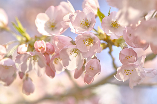 cherry blossoms on Flickr.錦町公園にて