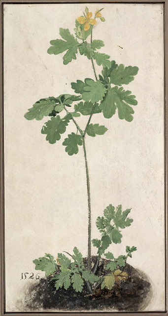 oldpainting:  Formerly attributed to Albrecht Dürer 'Celandine' 1526 by Plum leaves on Flickr. Via Flickr: Watercolor and gouache on vellum Albertina museum, Vienna, Austria ___ Slight restoration by plumleaves