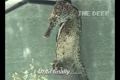 Male seahorse gives birth like a shotgun